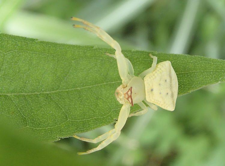 アズチグモのポーズ