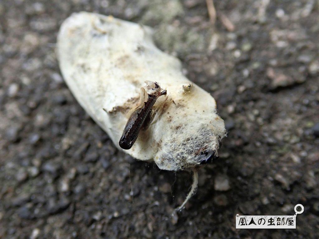 コガネグモの餌食になったクワガタのメス