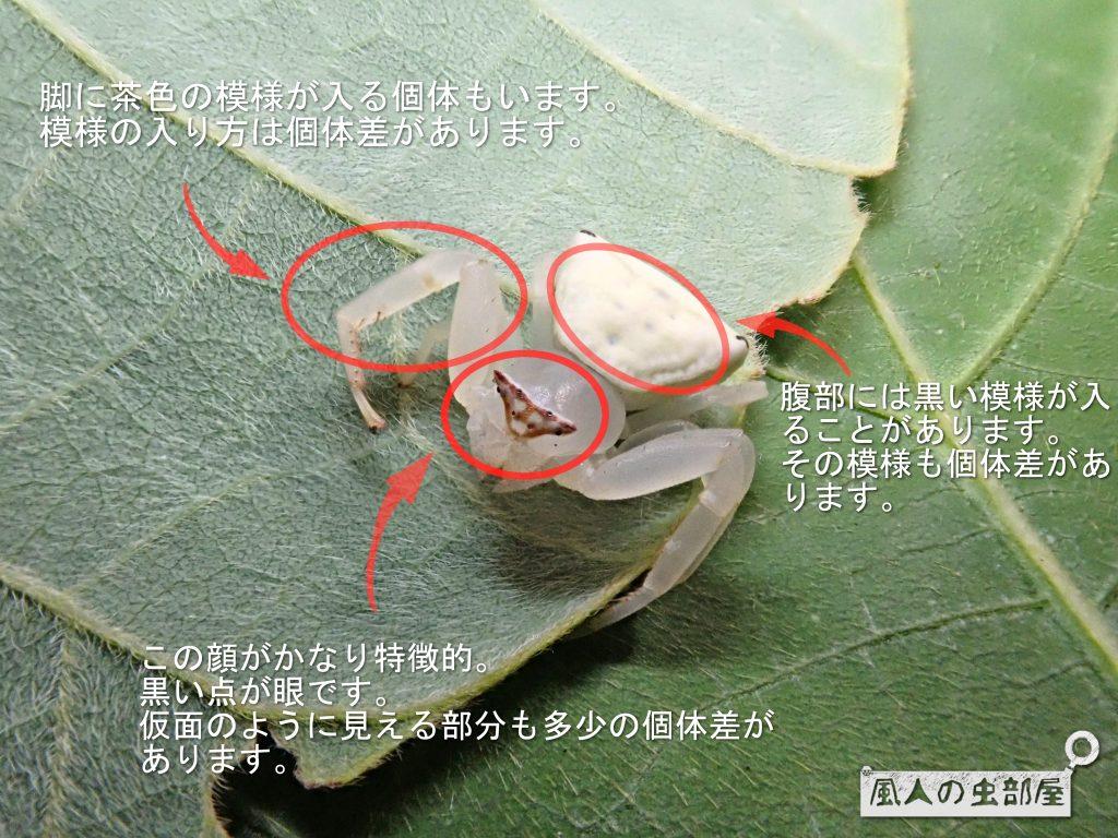 アズチグモの特徴
