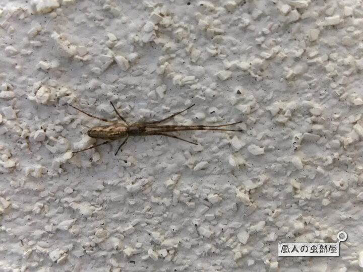 アシナガグモの特徴