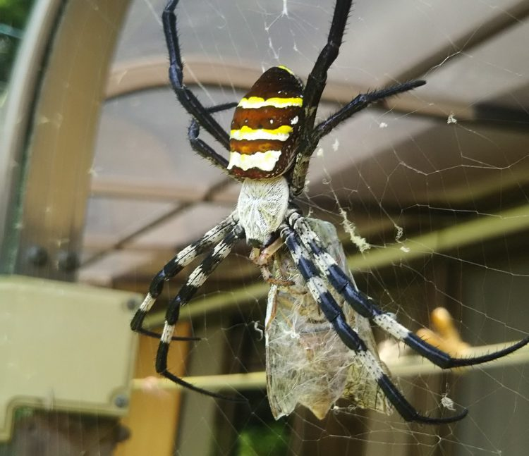 コガネグモがセミを食べている