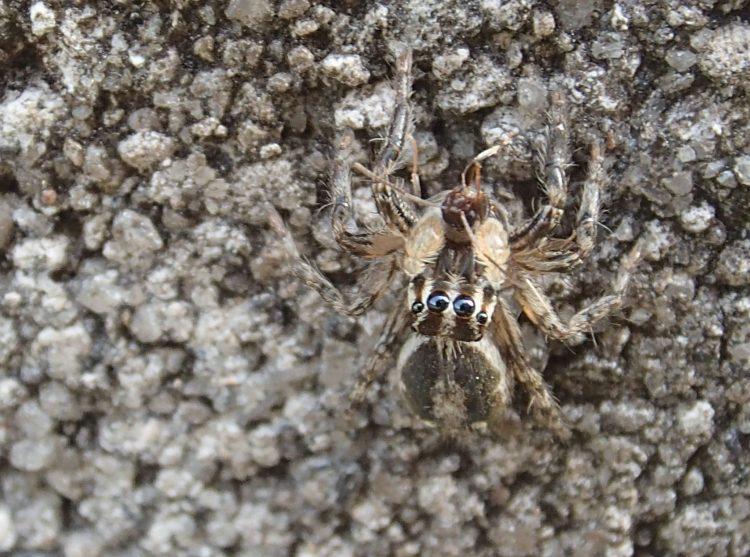 チャスジハエトリがアリを食べている