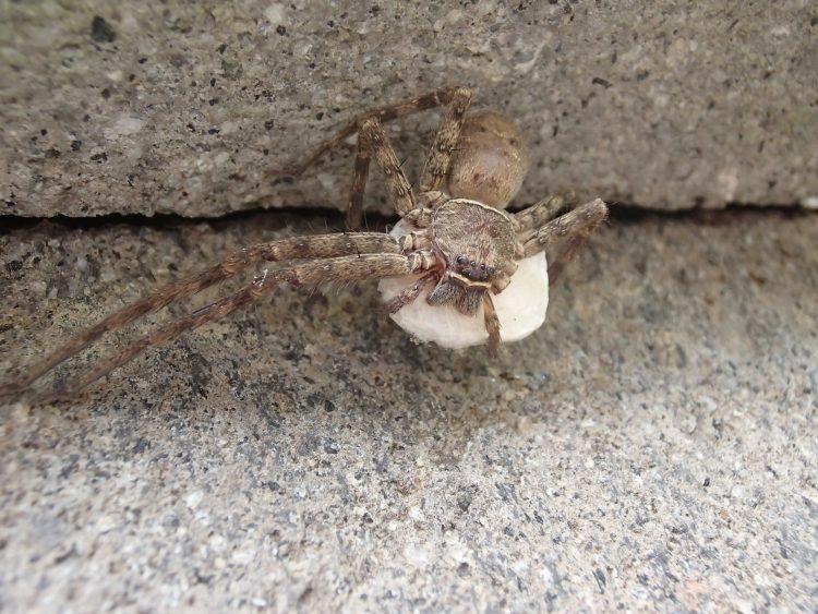 卵嚢を抱えるコアシダカグモ
