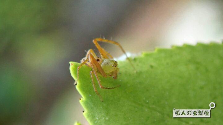 ササグモの幼体