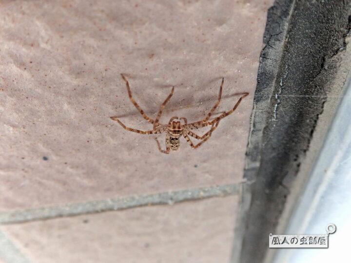 小さくてかわいいアシダカグモ