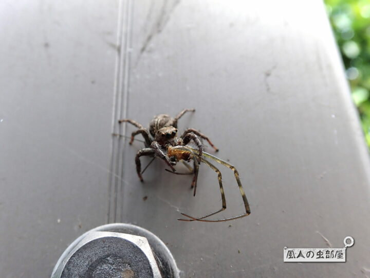 チャスジハエトリはクモも食べる