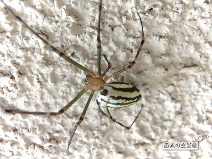 オオシロガネグモの情報