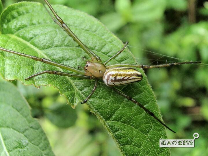 オオシロガネグモの顔