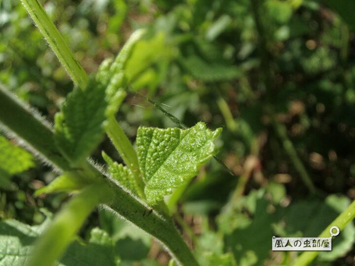 オナガグモの特徴