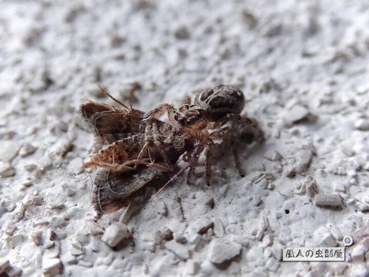 チャスジハエトリが捕まえた蛾