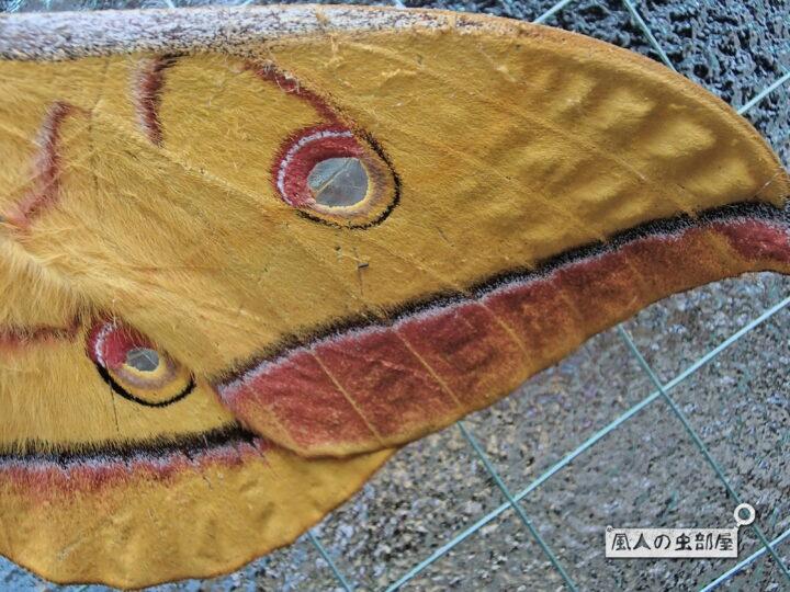 ヤママユの翅