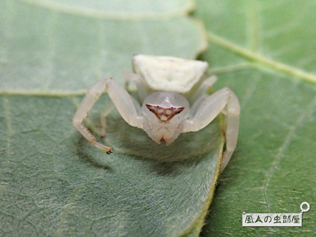 アズチグモの顔