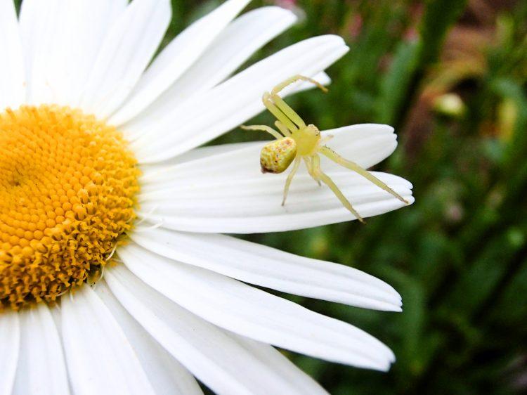 ハナグモの特徴