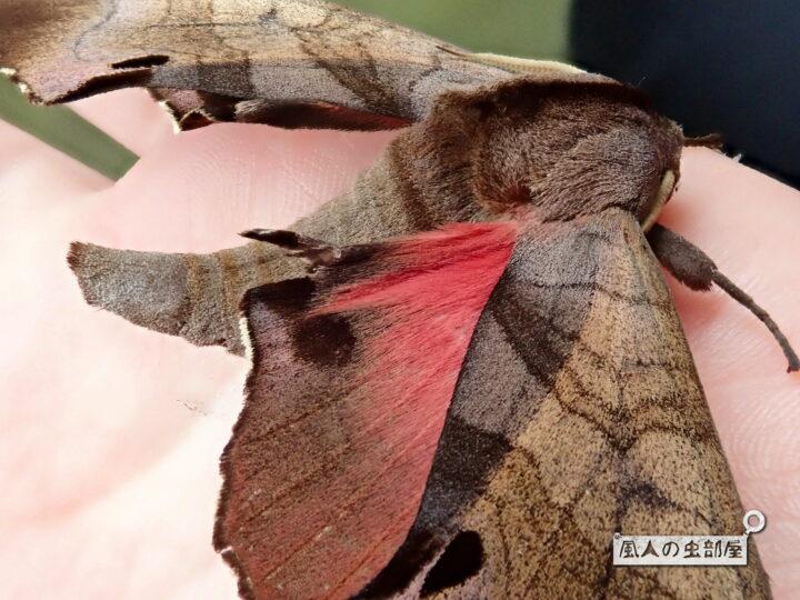 モモスズメの桃色の後ろ翅