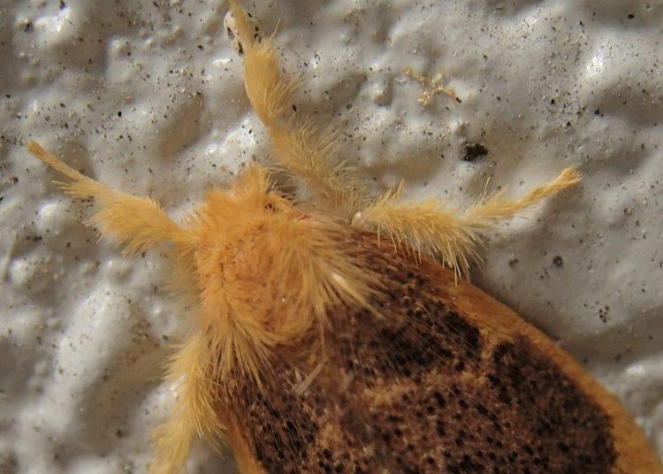 チャドクガの毒針毛