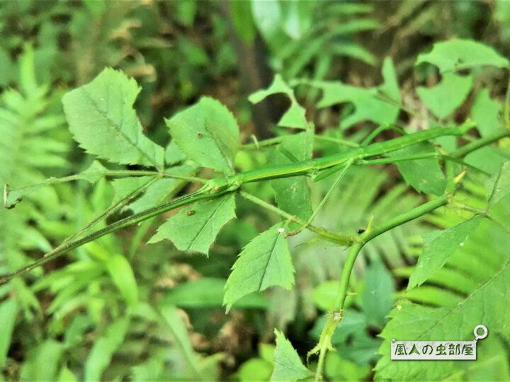 緑のエダナナフシ