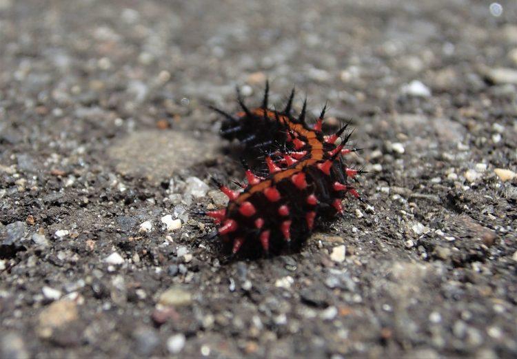 ツマグロヒョウモンの幼虫のお尻