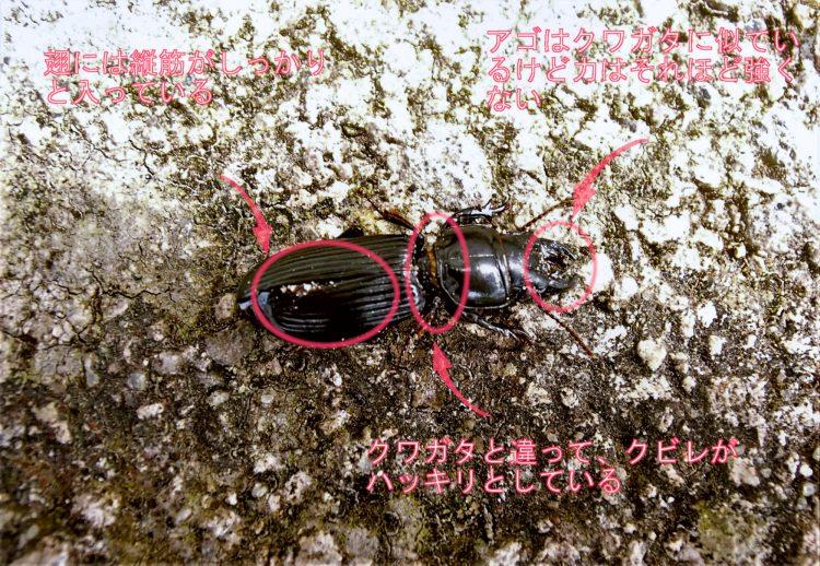 ヒョウタンゴミムシの特徴