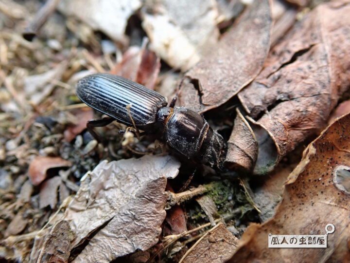 ヒョウタンゴミムシの住処