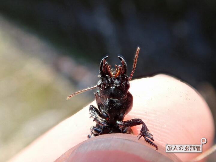 ヒョウタンゴミムシはくクワガタに似ている