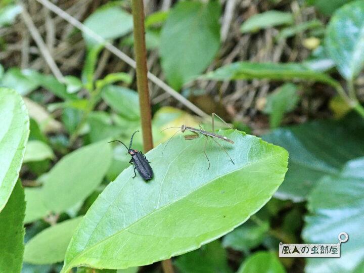 オバボタルとカマキリの幼虫