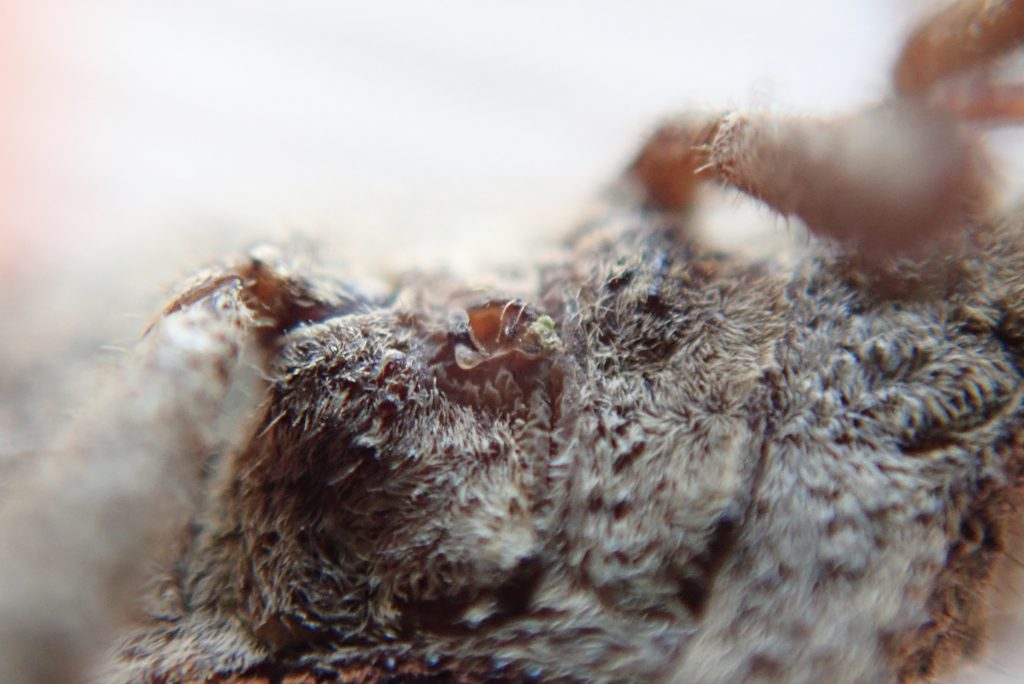 ホオズキカメムシの臭い匂いを出す穴のアップ