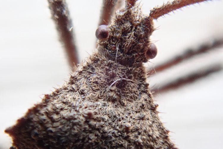 ホオズキカメムシは細かい毛で覆われている