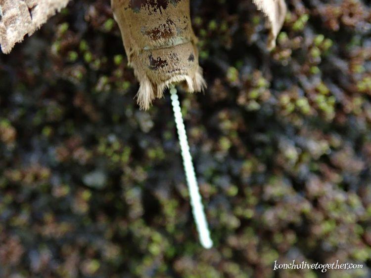 キマダラコウモリの産卵