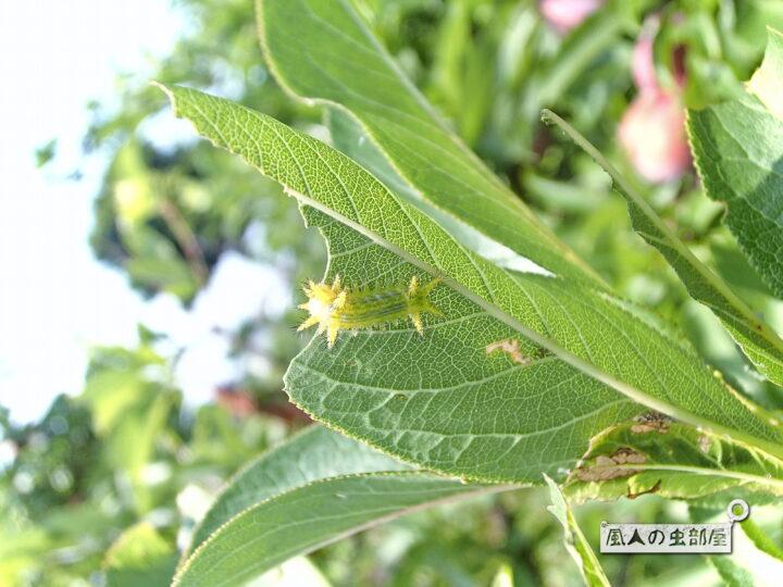ヒロヘリアオイラガの幼虫はそこまで怖がらなくてもいい
