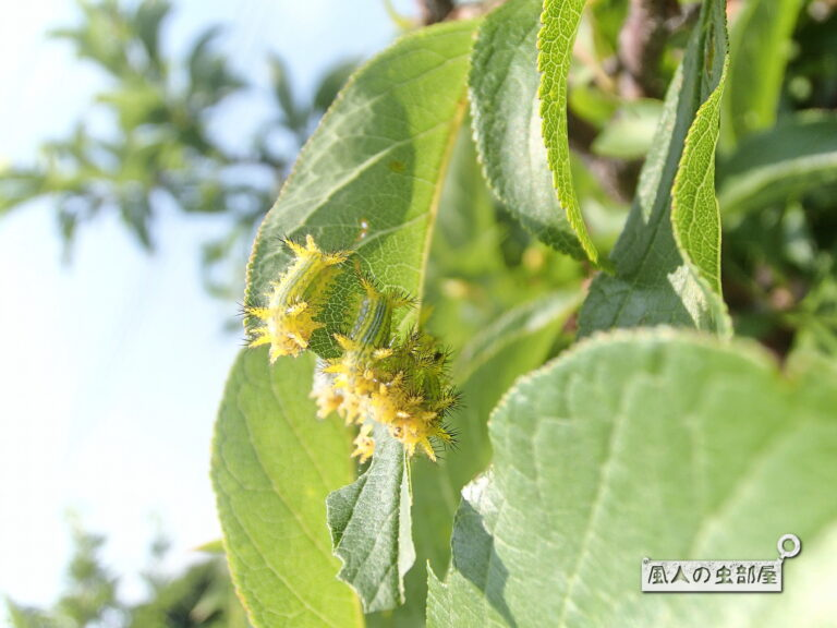 ヒロヘリアオイラガの幼虫