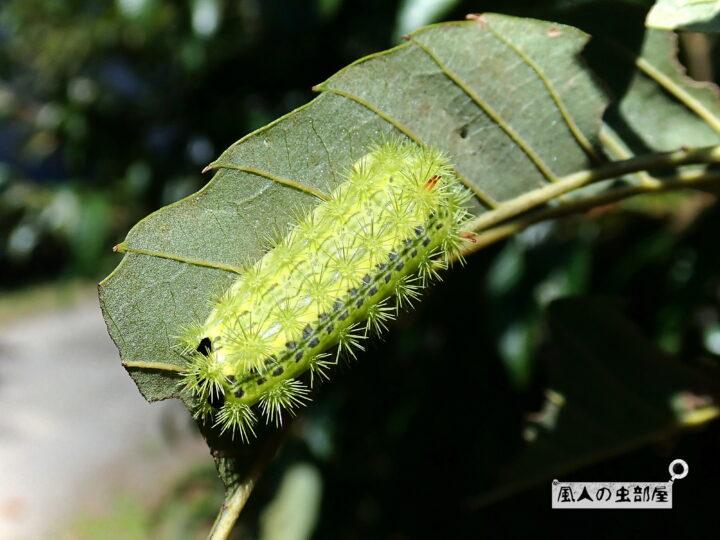 ヒロヘリアオイラガの幼虫の終齢