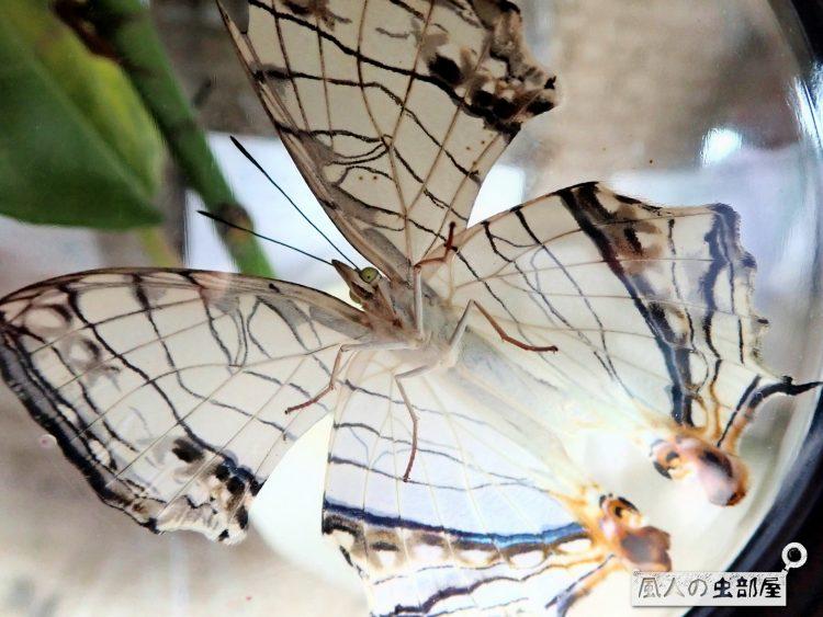 イシガケチョウの翅の表