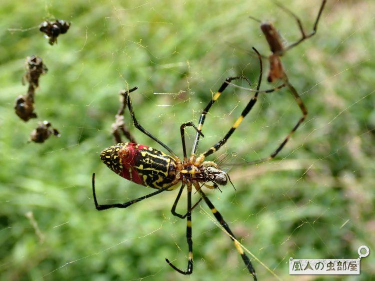 ハエを食べるジョロウグモ