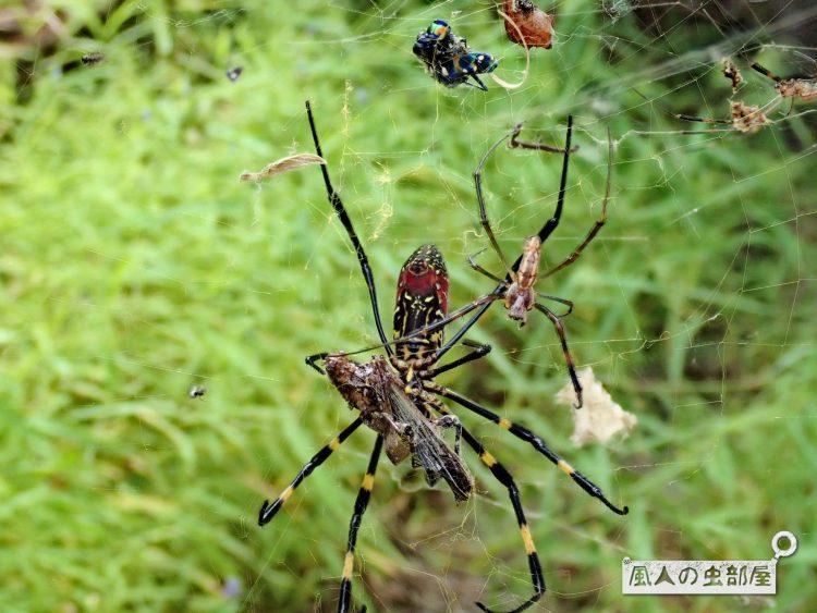ジョロウグモはとにかくなんでも捕獲する