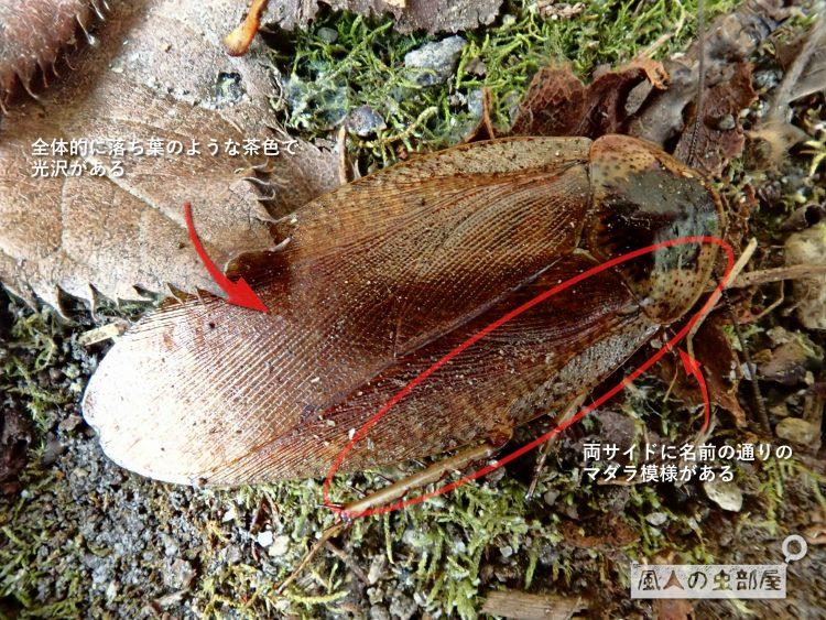 マダラゴキブリの特徴