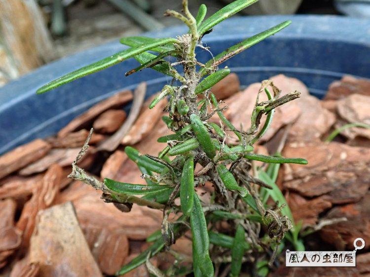 ベニフノキメイガの幼虫にやられたローズマリー