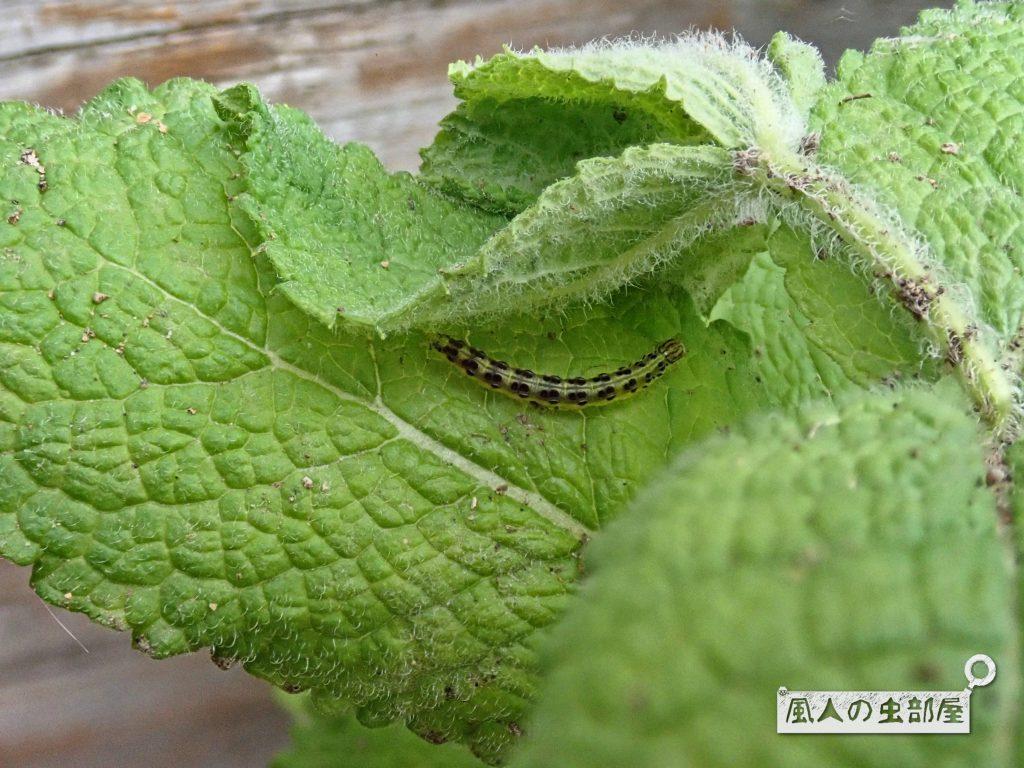 ベニフノキメイガの幼虫の好物