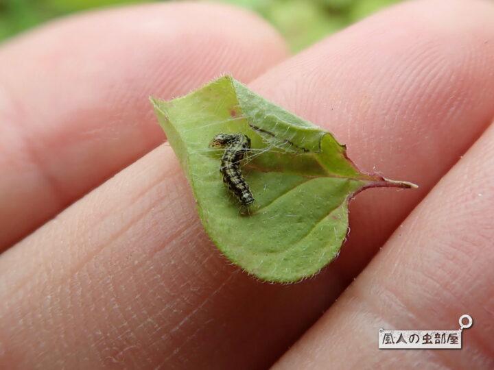 ベニフノキメイガの幼虫は糸で隠れる