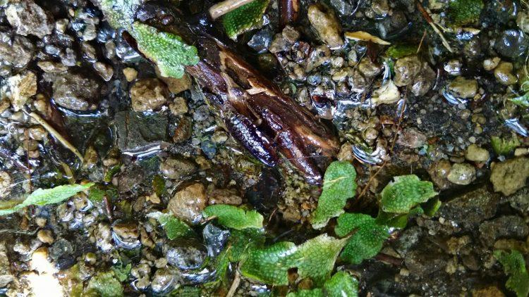 マダラゴキブリの幼虫