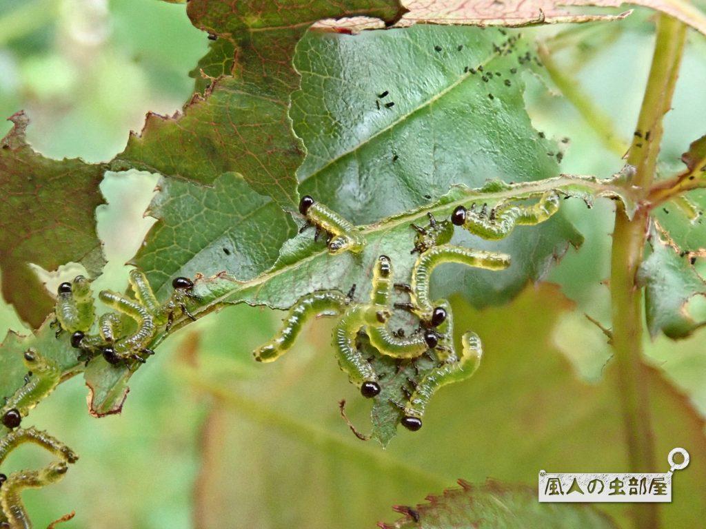 チュレンジバチの幼虫はよく食べる
