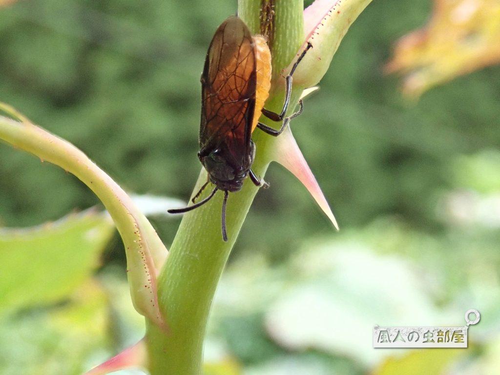 チュレンジバチの成虫