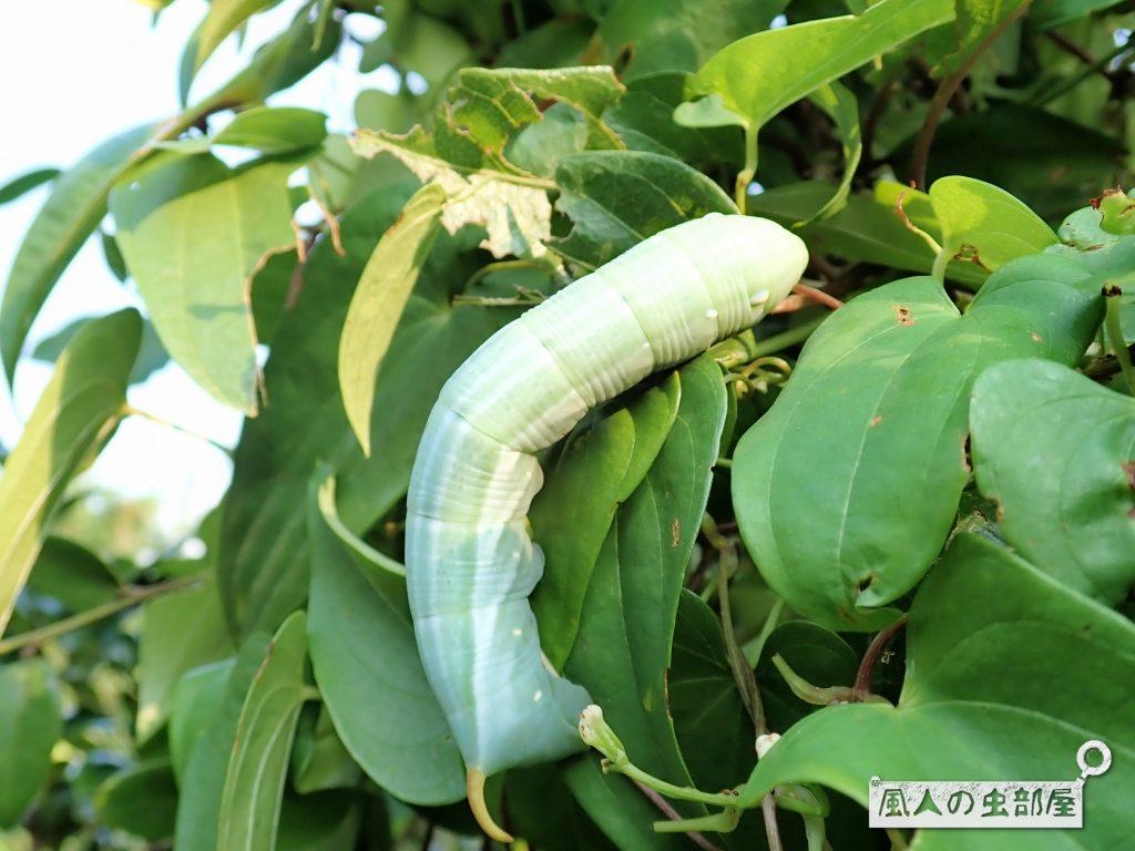 キイロスズメの幼虫の緑