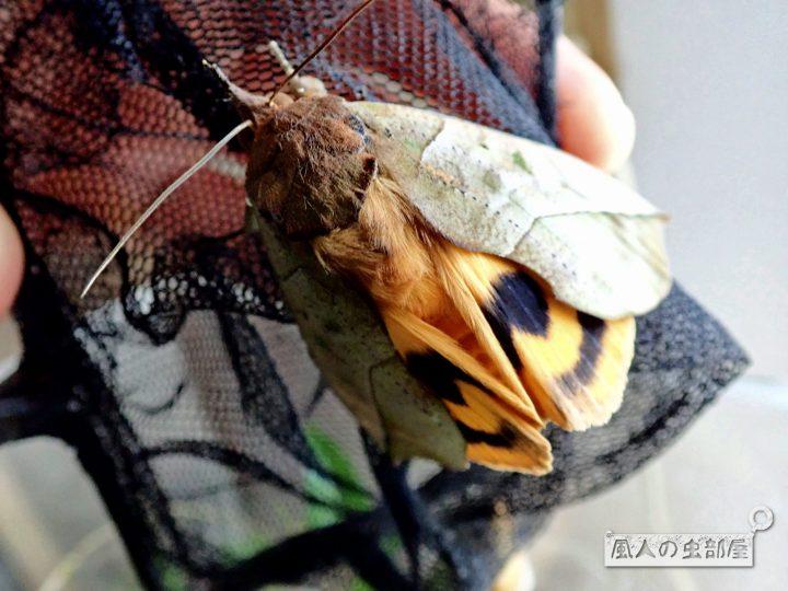 アケビコノハの後翅