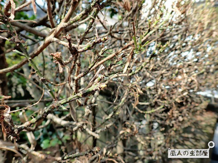 キオビエダシャクの幼虫による被害