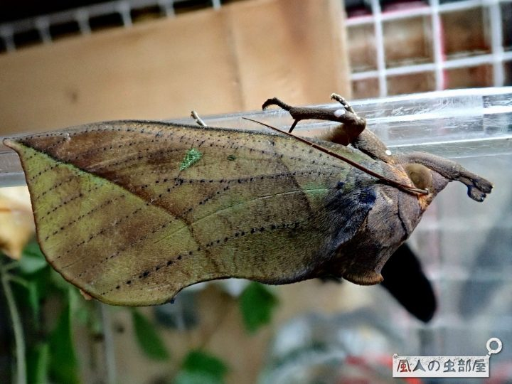 アケビコノハは毒や害があるのか