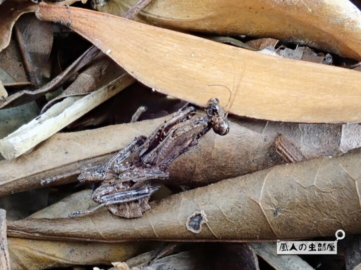サツマヒメカマキリの擬死