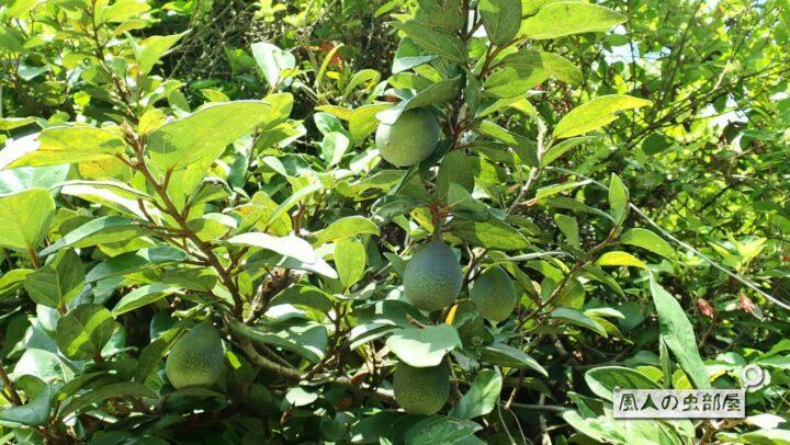 イチジグヒトリモドキの幼虫が好むオオイタビ