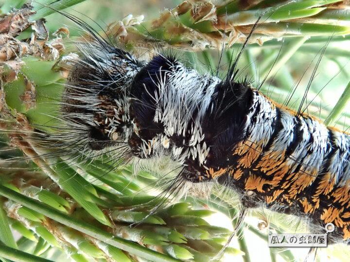 マツカレハの幼虫には毒針毛がある
