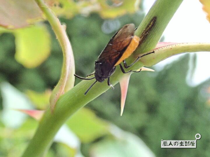 チュウレンジハバチに毒や害はあるのか