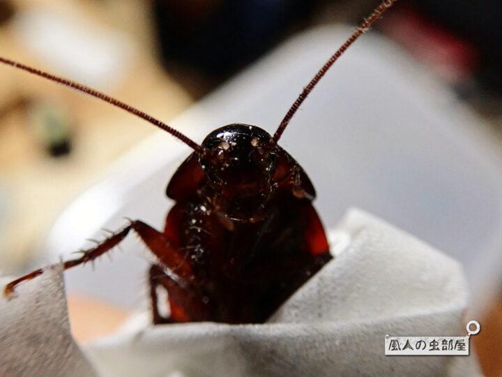 クロゴキブリの情報